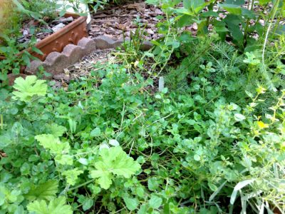 herb garden_oregano_august 2014