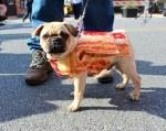 Pug Dressed like Bacon