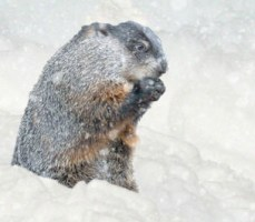 cold groundhog snow_304x267