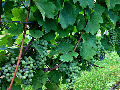 Unami Ridge grapes; photo credit Lynne Goldman