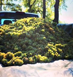 Wine grapes, Wycombe Vineyards