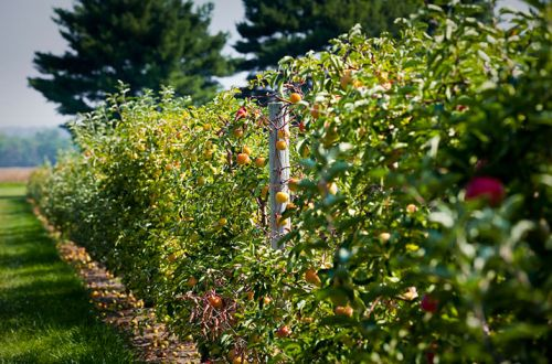 Courtesy: Delaware Valley University. Apples growing at the Gemmill Farm