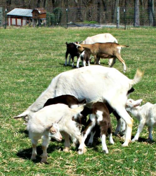 Flint Hill Farm goats; credit L. Goldman