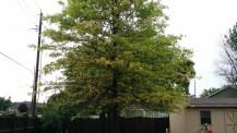 Oak tree with iron chlorosis before