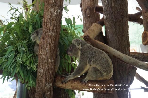 ใกล้ชิดโคอาล่า, หมีโคอาล่า, สวนสัตว์เขาเขียว, เขาเขียว, เด็ก, รีวิว