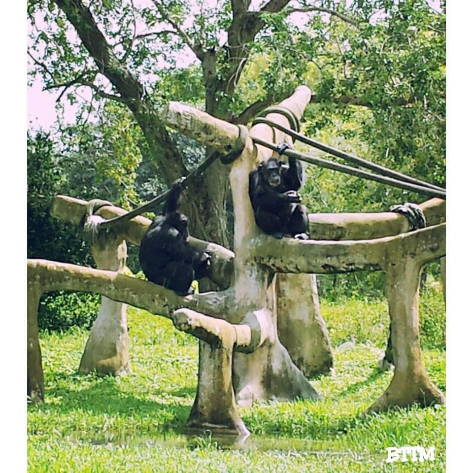 Chimps at Zoo Miami