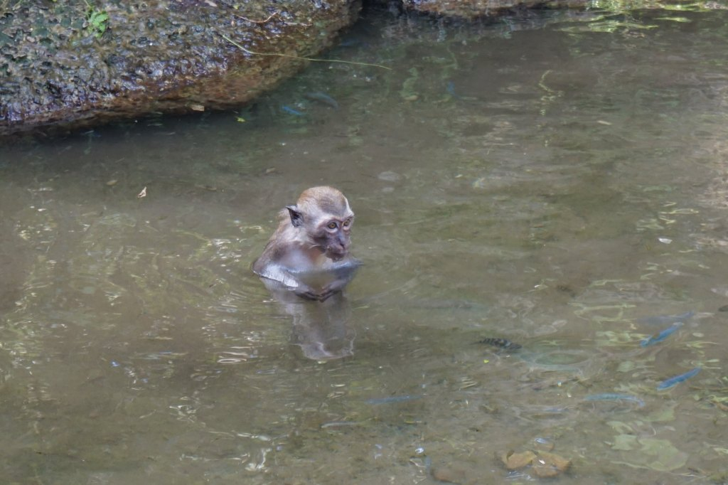 A baby Java macaques playing in the water at Monkey Jungle