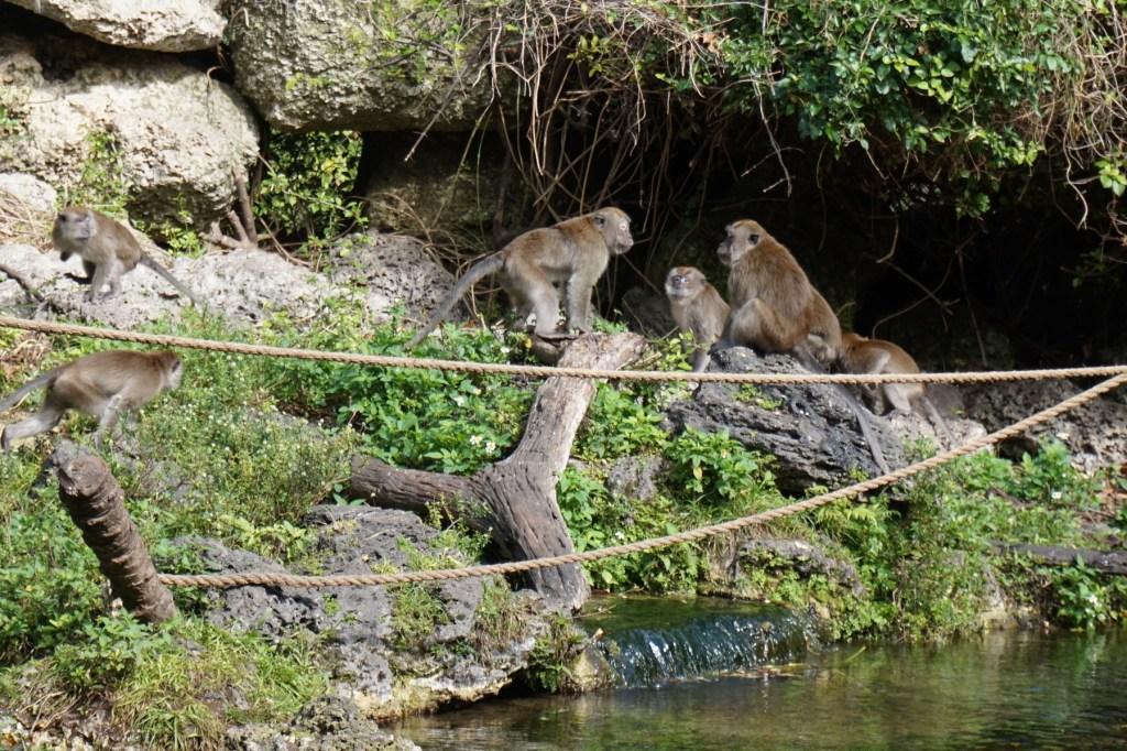 Buddy The Traveling Monkey at Monkey Jungle