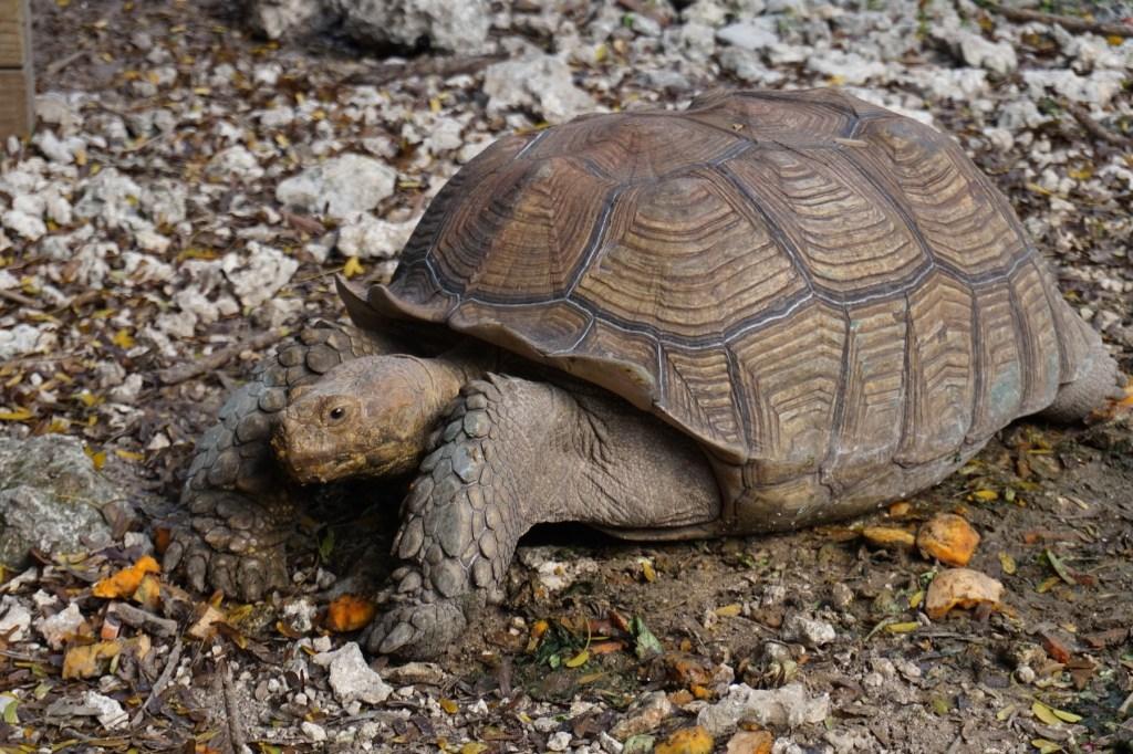 Turtle at Monkey Jungle