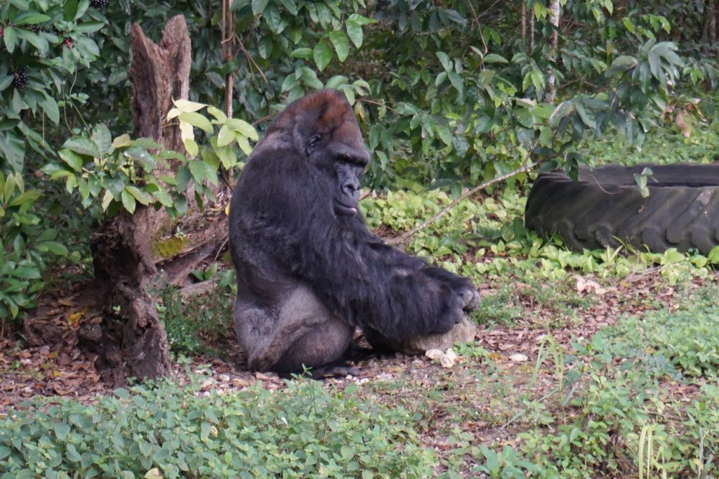 King, a Western Lowland Gorilla at Monkey Jungle