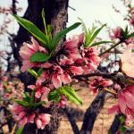Peach Blossoms At Schnepf Farms