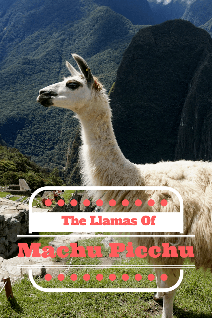 Machu Picchu is aUNESCO World Heritage Site and one of the New 7 Wonders of the World, but the llamas of Machu Picchu are famous in their own right!!