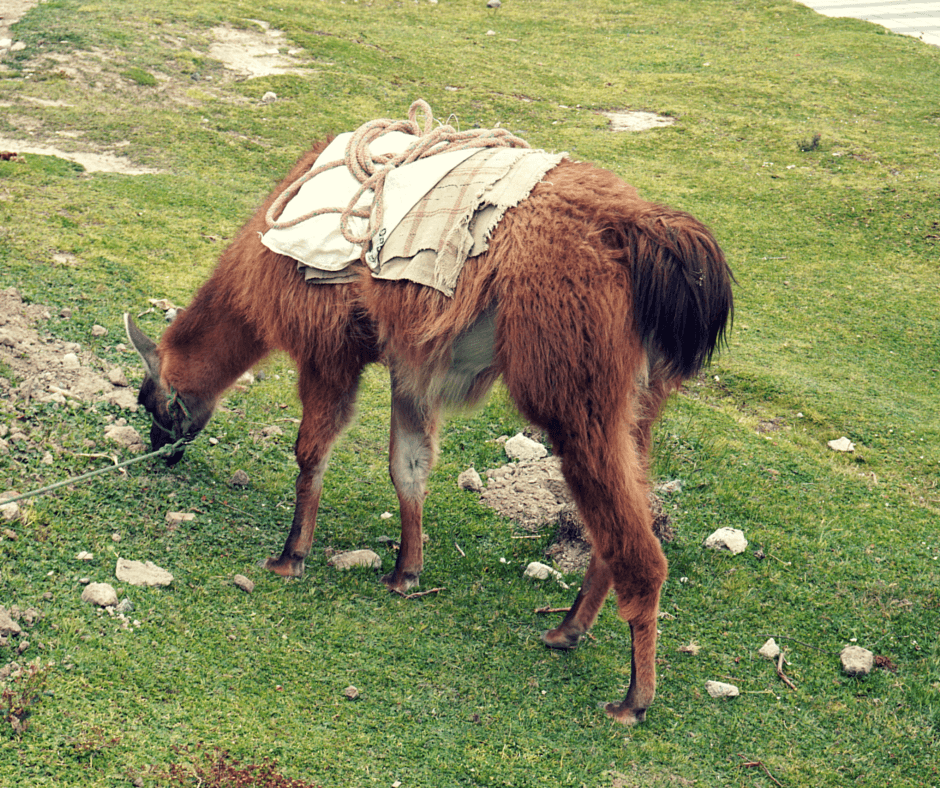 Ecuador tourist attractions usually involve llamas