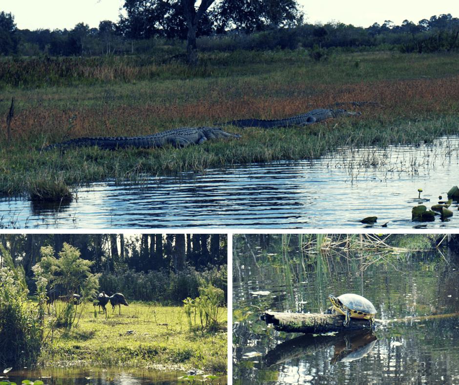 alligators, wild turkeys, and turtles at Billie Swamp Safari