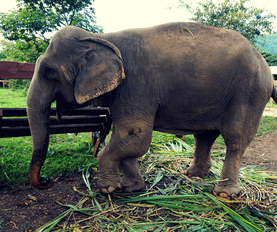 An elephant with a broken leg at Elephant Nature Park