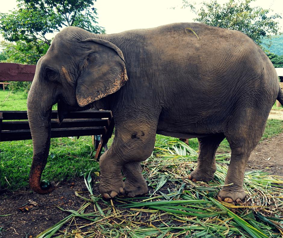 An elephant with a broken leg at Elephant Nature Park