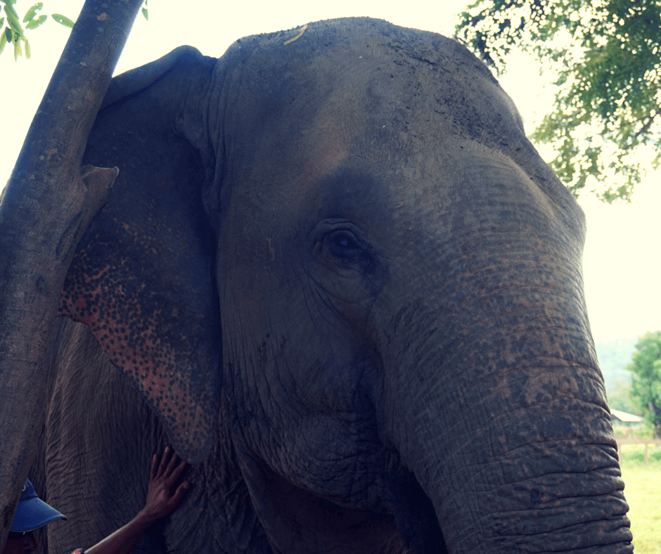 A blind elephant at Elephant Nature Park