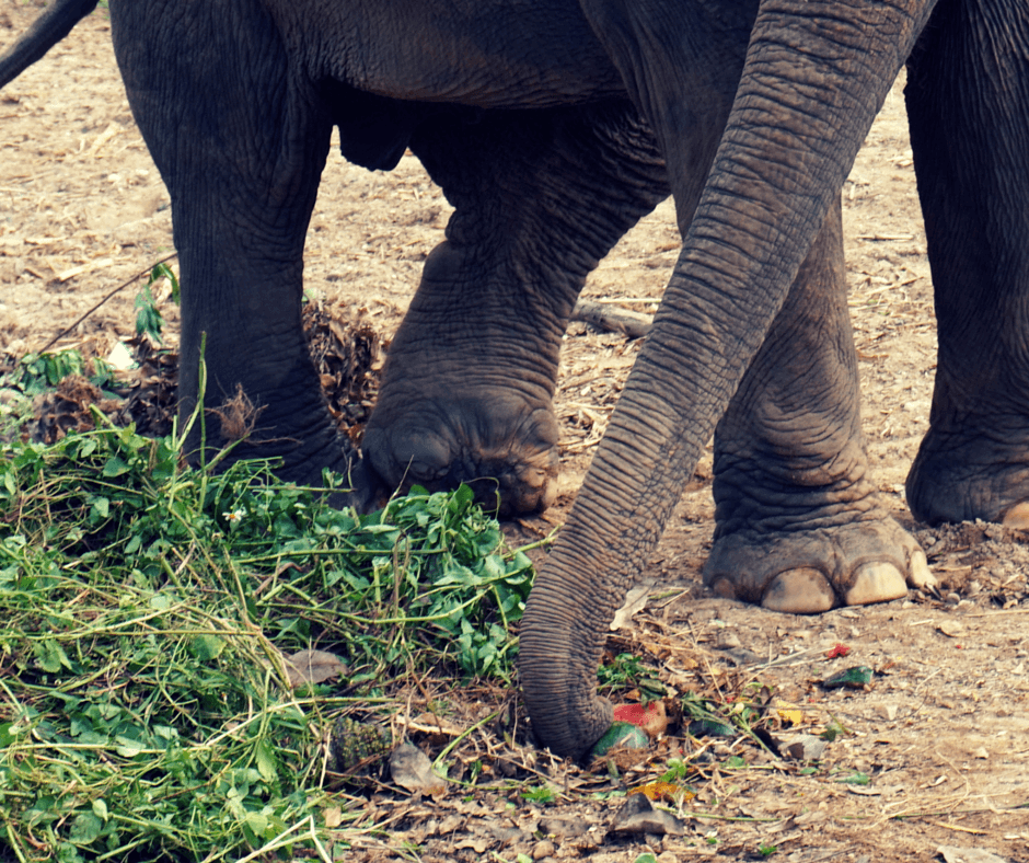 An elephant missing toes at Elephant Nature Park