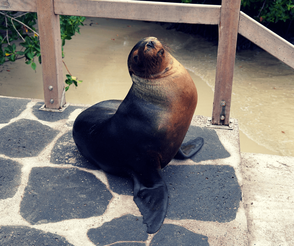 Sea Lion by the water in the Galapagos