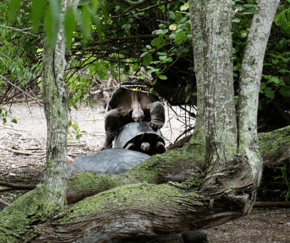 Tortoises in Centro de Crianza Arnaldo Tupiza, Isabela's Tortoise Breeding Center