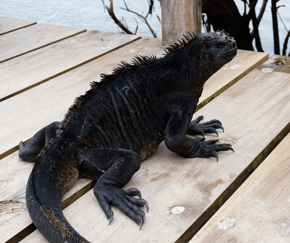 An iguana on a dock in the Galapagos