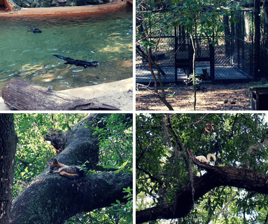 otters, fox, florida panther at Tallahassee Museum