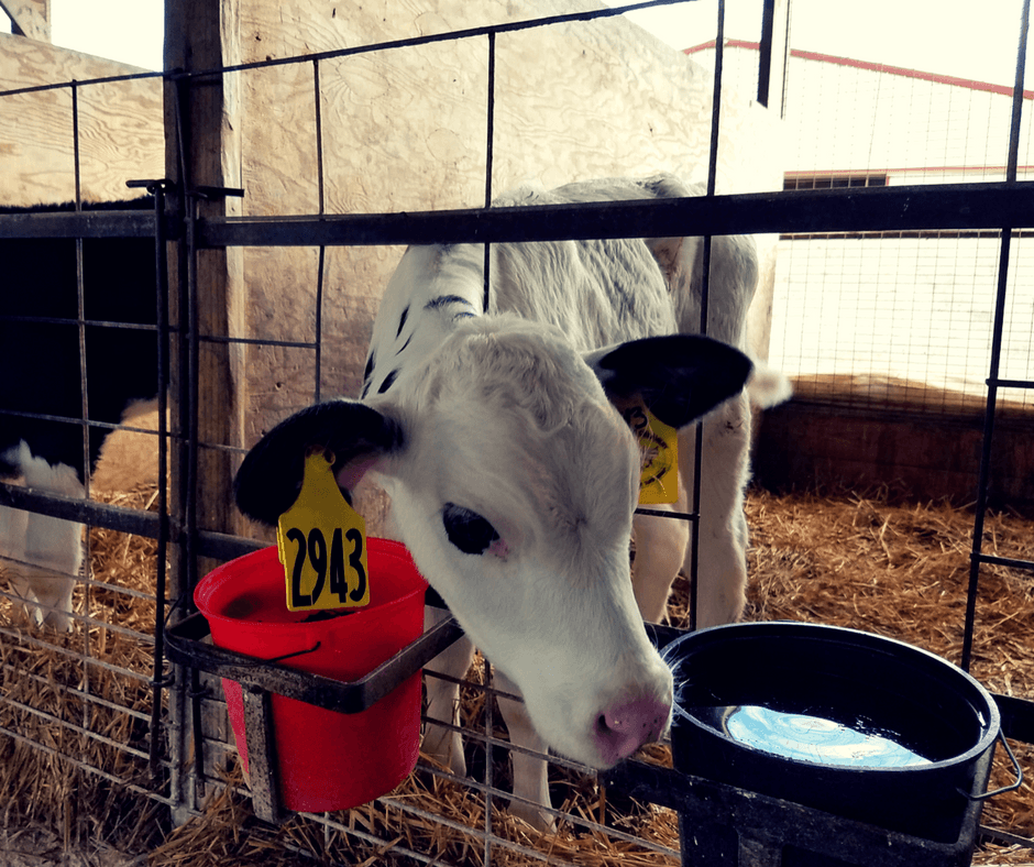 feeding cows at South Mountain Creamery