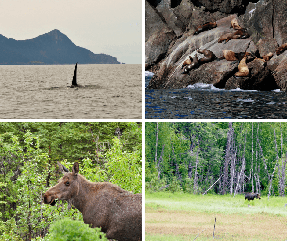 whales, sea lions, and moose in Alaska