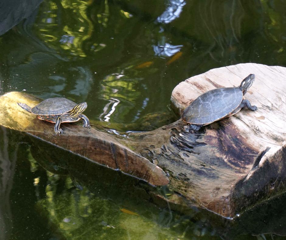 turtle pond of Miami Beach Botanical Garden