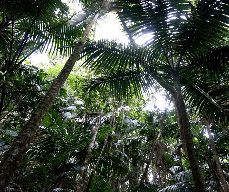 palm trees in el yunque