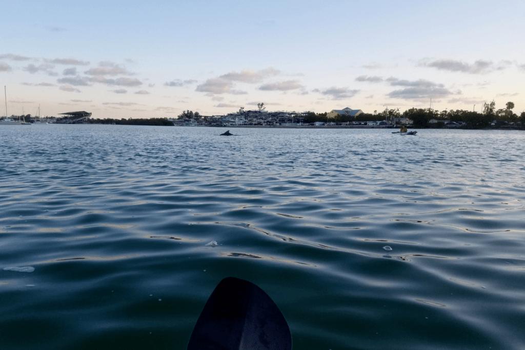 seeing dolphins while kayaking in Virginia Key