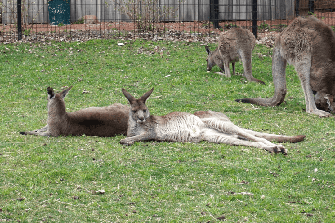 Eastern Grey Kangaroos at the Fort Wayne Children's Zoo