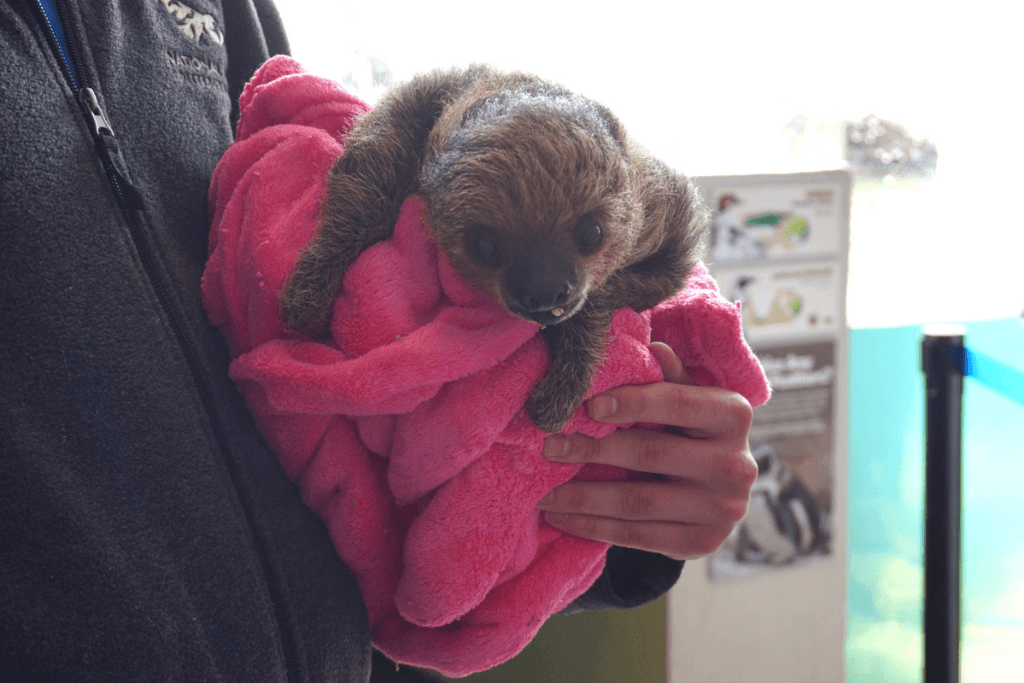 Baby sloth at the National Aviary