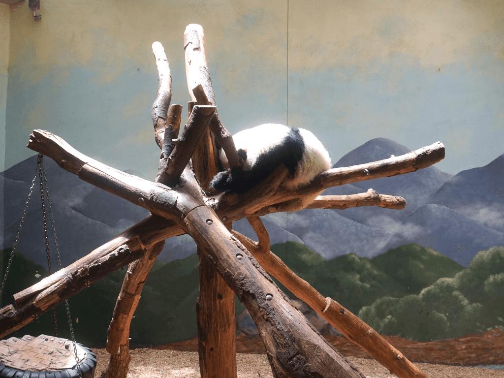 Sleepy panda at Zoo Atlanta