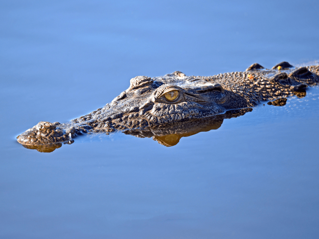 Australian crocodile is something we might see during our ultimate Australian road trip