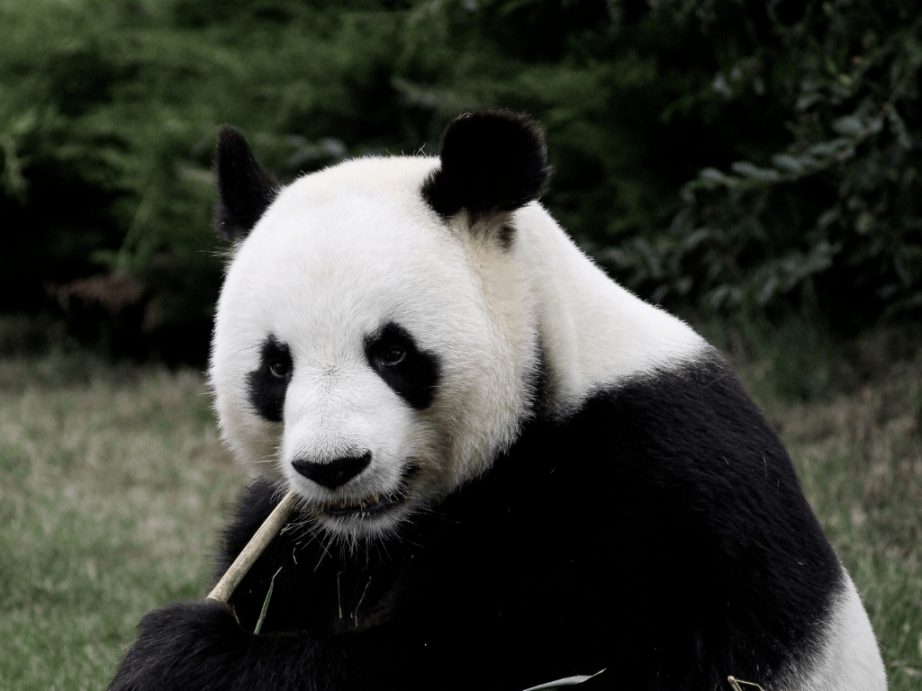 The Adelaide Zoo pandas are the only Giant Pandas in Australia.