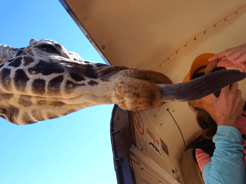 Giraffe getting treats at Out of Africa Wildlife Park in Camp Verde Arizona