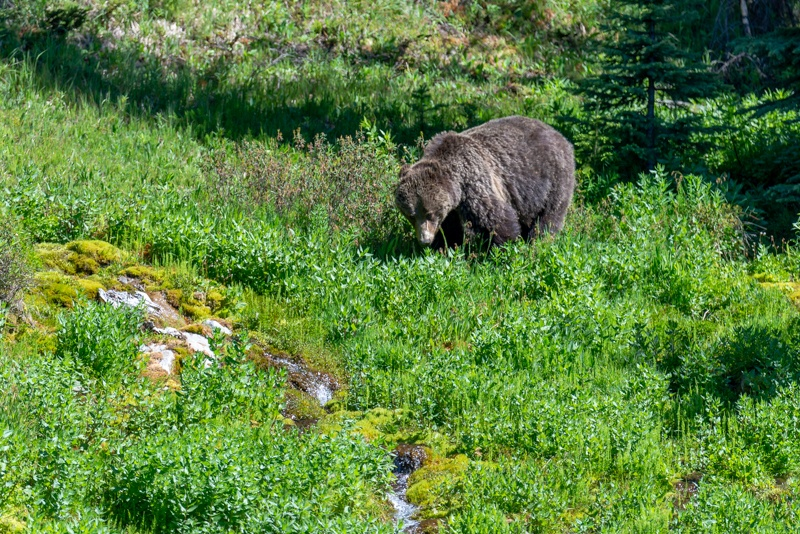We saw grizzly bears during our trip to Banff National Park