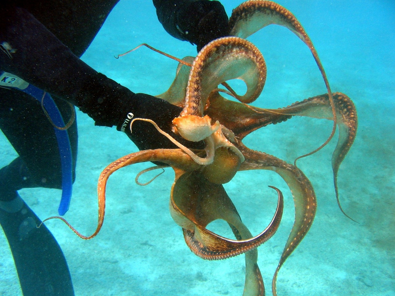 Живой осьминог с аквалангистом