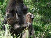 Chimpanze in Ngorongoro2