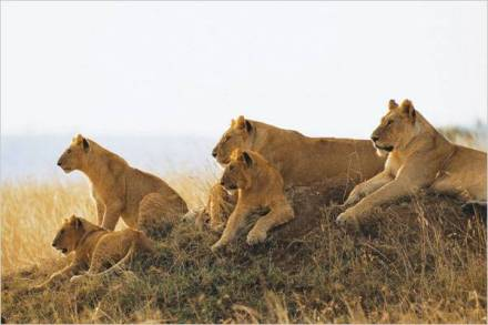 Lions in Mikumi National Park