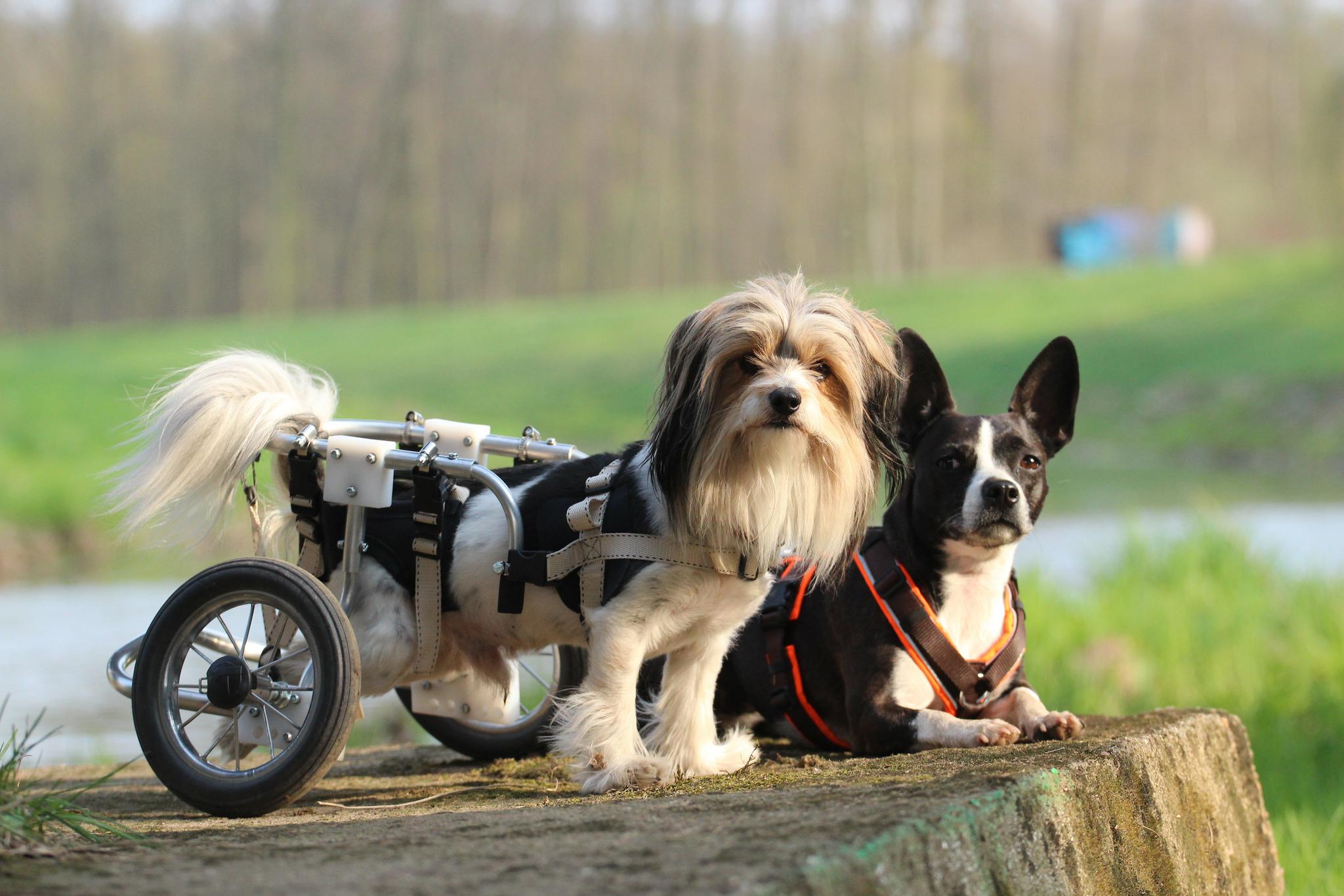 Hund im Rollstuhl mit Handicap
