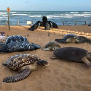 projeto tamar praia do forte tartarugas