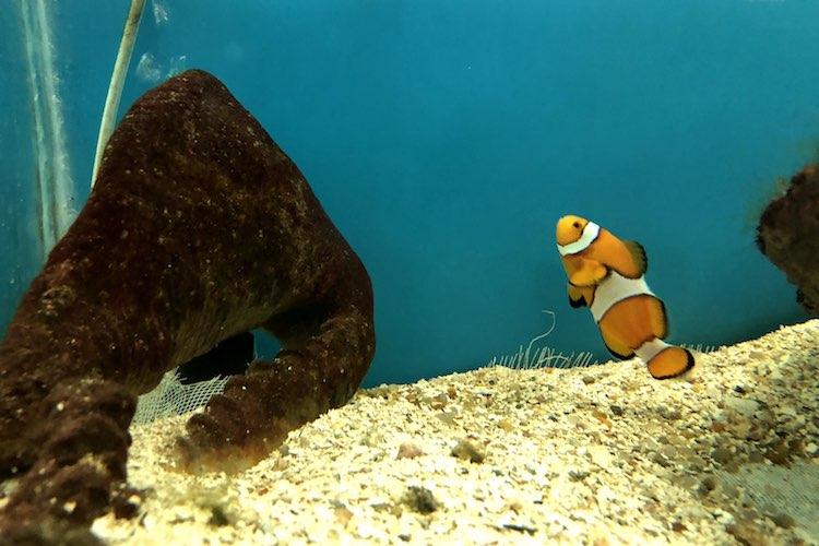 Amphiprion ocellaris, o Peixe-Palhação, como o Nemo do filme.
