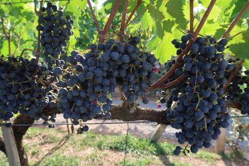 uvas vale dos vinhedos dom candido
