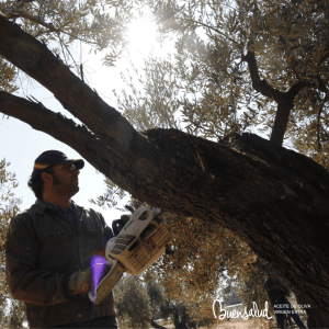 The importance of pruning olive trees