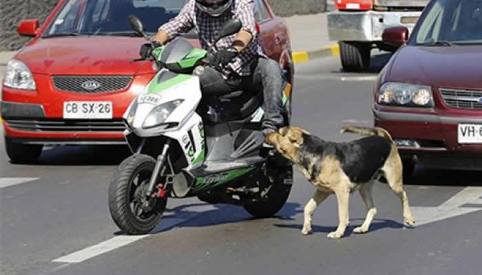 perro-u-otro-animal-se-cruza-delante-de-tu-moto