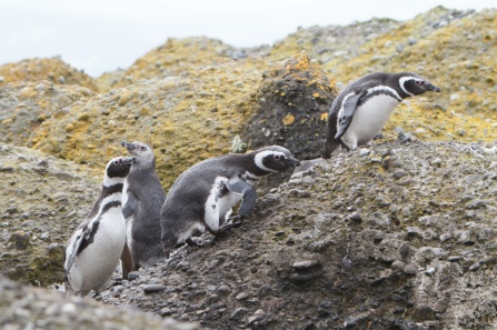 Penguins, large and small, walking in a group.
