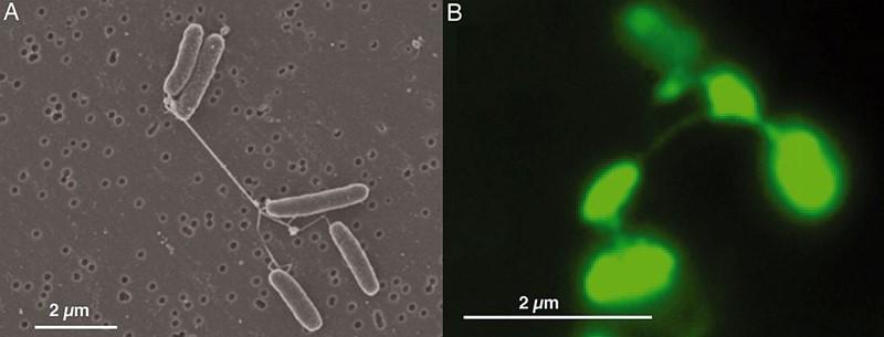 Shewanella oneidensis, električna bakterija pod elektronskim mikroskopom (lijevo) i snimljena tehnikom epifluorescentne mikrografije (desno)