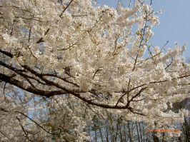 Lovely cherry blossoms